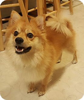 Pomeranian/Spitz (Unknown Type, Small) Mix Dog for adoption in Worcester, Massachusetts - Jackson