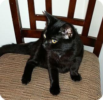 Domestic Shorthair Kitten for adoption in Woodstock, Ontario - Jack