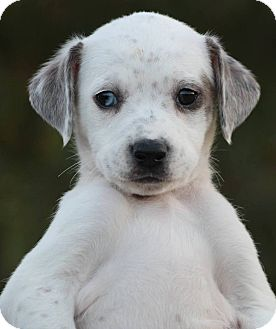Cattle Dog Mix Puppy for adoption in CUMMING, Georgia - Juniper