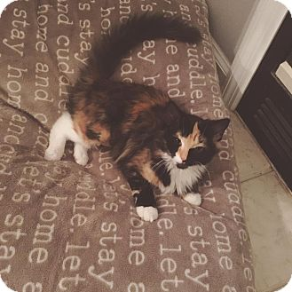 Maine Coon Kitten for adoption in Winchester, Kentucky - Tink