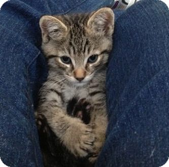 Domestic Mediumhair Kitten for adoption in Vacaville, California - Marco