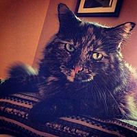 Adopt A Pet :: IL - Amber (CP) - St. Louis, MO