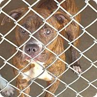 Adopt A Pet :: Scarlet - Manhattan, KS