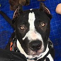 Adopt A Pet :: Chico - Summerville, SC