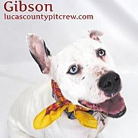 Adopt A Pet :: Gibson - Toledo, OH