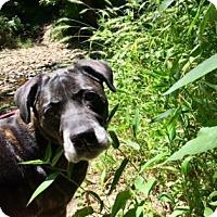 Boxer/Labrador Retriever Mix Dog for adoption in Kansas City, Missouri - Anna