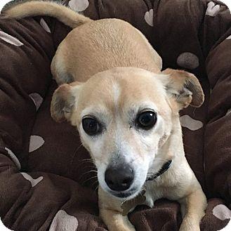 Chihuahua/Jack Russell Terrier Mix Dog for adoption in Santa Barbara, California - Sammy