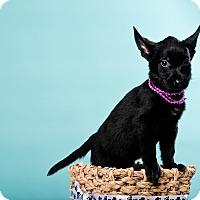 Adopt A Pet :: Layla - Houston, TX
