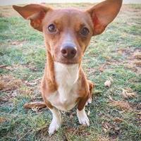 Adopt A Pet :: Coco - Fredericksburg, TX