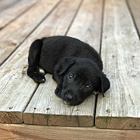 Adopt A Pet :: Brenner - MCLEAN, VA