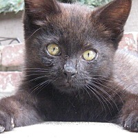 Adopt A Pet :: WEE WILLY - Brea, CA