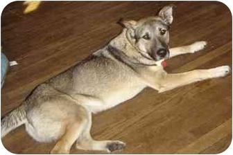 German Shepherd Dog/Norwegian Elkhound Mix Dog for adoption in WOOSTER, Ohio - Griffin