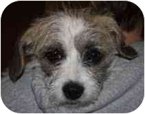 Schnauzer (Standard)/Wirehaired Fox Terrier Mix Puppy for adoption in Portland, Maine - Micky