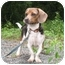 Photo 2 - Beagle Mix Dog for adoption in Blairstown, New Jersey - Maverick