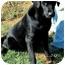 Photo 3 - Labrador Retriever Dog for adoption in Pawling, New York - ONYX-TN.