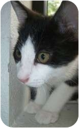 Domestic Shorthair Kitten for adoption in Appleton, Wisconsin - Luke