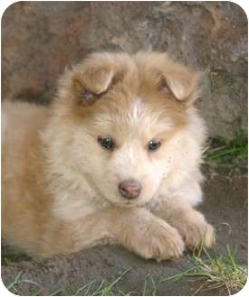 Husky/American Eskimo Dog Mix Puppy for adoption in Santa Ana, California - Hugs