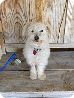Poodle (Miniature) Mix Dog for adoption in Salt Lake City, Utah - DALLAS