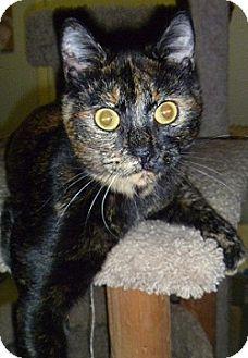 Domestic Shorthair Cat for adoption in Hamburg, New York - Trudie