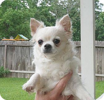 Chihuahua Dog for adoption in conroe, Texas - Tofu