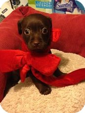 Dachshund/Terrier (Unknown Type, Small) Mix Puppy for adoption in Brea, California - Moose