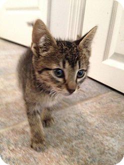 Domestic Shorthair Kitten for adoption in NEW YORK, New York - Louie