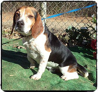 Beagle Mix Dog for adoption in Marietta, Georgia - SHERLOCK (R)