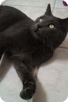 Domestic Shorthair Cat for adoption in Merrifield, Virginia - Jakey