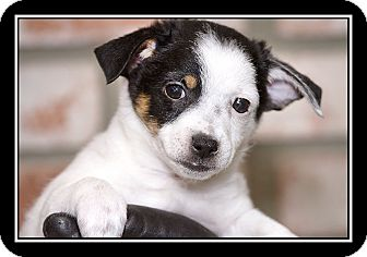 Maltese/Jack Russell Terrier Mix Puppy for adoption in San Diego, California - Princess Kate