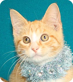 Domestic Shorthair Kitten for adoption in Jackson, Michigan - Nike