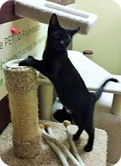 Domestic Shorthair Kitten for adoption in East Meadow, New York - Raven