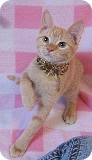 Maine Coon Kitten for adoption in Asheboro, North Carolina - Wildfire