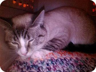 Siamese Cat for adoption in Fairborn, Ohio - Bastet