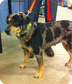 Catahoula Leopard Dog/Blue Heeler Mix Dog for adoption in Waterbury, Connecticut - Patches