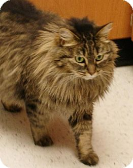 Maine Coon Cat for adoption in Oakland, California - Spicey
