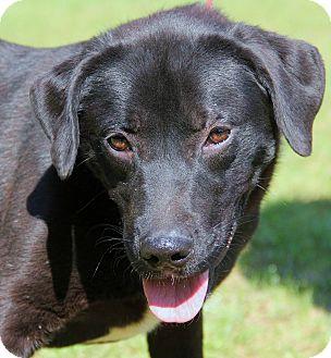 Labrador Retriever Mix Dog for adoption in Chicago, Illinois - AUGGIE-the perfect family dog