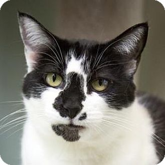 Domestic Shorthair Cat for adoption in Truckee, California - Marilyn