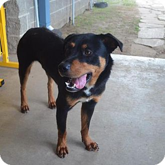 Rottweiler Mix Dog for adoption in Westwood, New Jersey - Roscoe