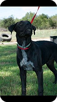 Labrador Retriever/Hound (Unknown Type) Mix Dog for adoption in Floresville, Texas - Chance