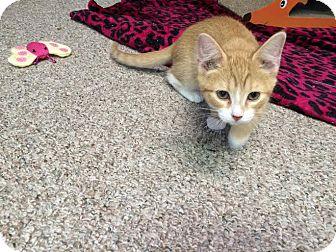 Domestic Shorthair Kitten for adoption in Columbus, Ohio - Ginger