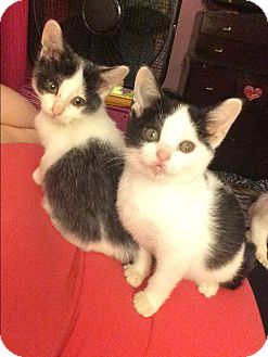 Domestic Shorthair Kitten for adoption in Newfield, New Jersey - Lil Bit