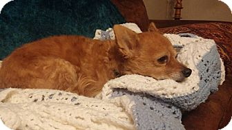 Chihuahua Mix Dog for adoption in Rochester, Minnesota - Skipper