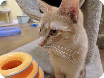 Domestic Shorthair Cat for adoption in Lake Charles, Louisiana - Mika