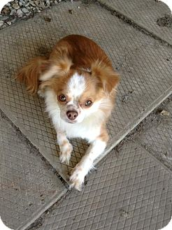 Japanese Chin/Chihuahua Mix Dog for adoption in Buffalo, New York - Kevin