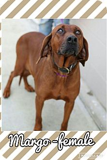 Redbone Coonhound Mix Dog for adoption in Rochester, New York - Margo (reduced fee!)