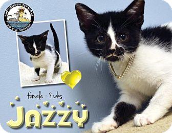 Domestic Shorthair Kitten for adoption in Davenport, Iowa - Jazzy
