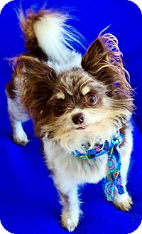 Papillon/Chihuahua Mix Dog for adoption in Irvine, California - Rocket