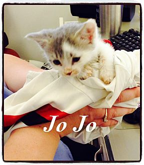 Domestic Shorthair Kitten for adoption in Dillon, South Carolina - JoJo