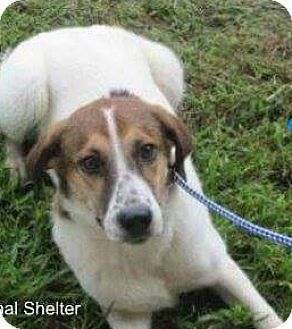 Border Collie/Hound (Unknown Type) Mix Dog for adoption in Staunton, Virginia - Olive
