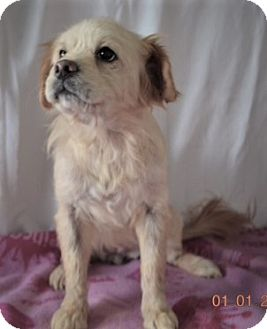 Poodle (Miniature) Mix Dog for adoption in Brattleboro, Vermont - Fluffy ~ ADOPTED